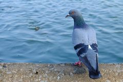 Pigeon stand on concrete bank and looking for a fish in the river. stock photo