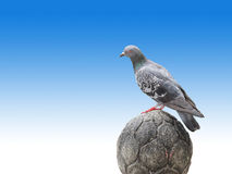 Pigeon stand on craved stone on blue gradient background Royalty Free Stock Photo