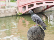 Pigeon stand on craved stone beside canal. Pigeon was stand on the craved stone beside canal in White Temple Royalty Free Stock Image