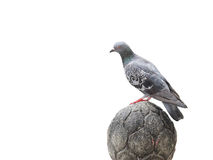 Pigeon stand on craved stone isolation Stock Photo