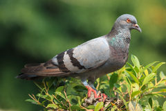 Pigeon stand on the  treetop Royalty Free Stock Photo