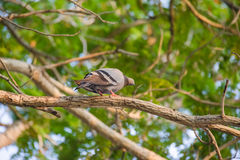 Pigeon standing on a branch, back profile Stock Photos