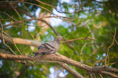 Pigeon standing on a branch, back profile Royalty Free Stock Image