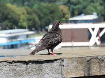Pigeon on the bridge. Pigeon standing on the bridge, Belgrade, Serbia royalty free stock images