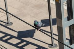 Pigeon standing on a cable stock images