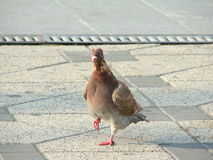 Pigeon standing. In the center of Bacau, Romania Stock Image