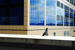Pigeon standing in city building Royalty Free Stock Photos