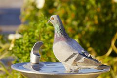 Pigeon, Portrait. Pigeon wading in a drinking fountain during the day. Scientific name: Columbidae. Isolated portrait Stock Image