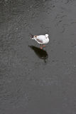 Pigeon standing on frozen river. White pigeon standing on frozen river Royalty Free Stock Photos