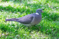 Pigeon Standing On Green Grass. Profile of a Grey Pigeon Standing Alone On Green Grass Stock Image