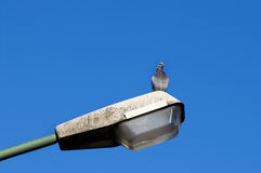 Pigeon standing on a lamppost Royalty Free Stock Photography