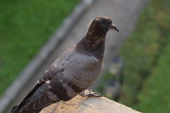 Pigeon standing on the ledge Royalty Free Stock Image