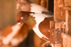 Pigeon standing on a nest, closeup, isolated. Royalty Free Stock Images