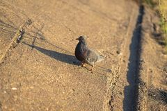 Pigeon standing peacefully on concrete mixed with gravel tiles overlooking surrounding and enjoying warm sun on warm stock image