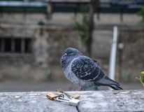 A pigeon standing on river bank royalty free stock photography
