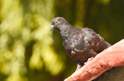 Pigeon standing on a roof, . Royalty Free Stock Photo