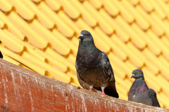 Pigeon standing on roof. Stock Images