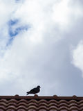Pigeon Standing on The Roof Royalty Free Stock Photography