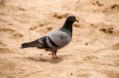 Pigeon. A pigeon standing on the sand Stock Photos
