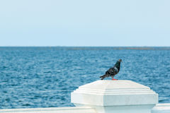 Pigeon standing at the sea. Pigeon standing on the white wall with the sea in background Stock Photos