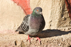 Pigeon standing on a stone, isolated. Royalty Free Stock Photos