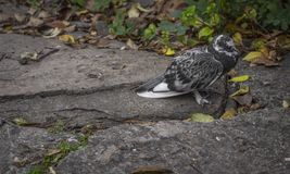 A pigeon standing on a stone path stock photos