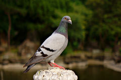 Pigeon. Standing on stone pillars Stock Photography