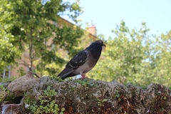 Pigeon standing on a water Fountain. Cours Mirabeau Aix-En-Prove Royalty Free Stock Photos