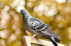 Pigeon standing on a wood, closeup. Royalty Free Stock Photo