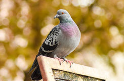 Pigeon standing on a wood, closeup. Stock Image