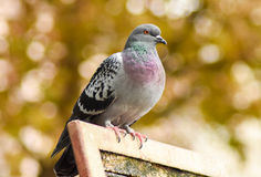 Pigeon standing on a wood, isolated. closeup. Royalty Free Stock Photos