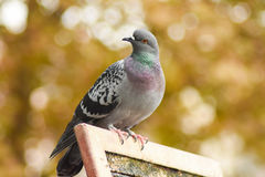 Pigeon standing on a wood, isolated, closeup. Royalty Free Stock Photos