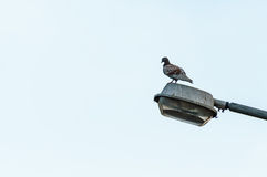 Pigeon Stands on Lamp Light Stock Photography