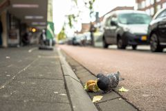 Free Pigeon Stands On The Sidewalk Eating A Sandwich Stock Images - 137063954