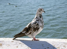 A pigeon Stock Images