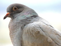 Pigeon. A pigeon staring at me Royalty Free Stock Images