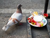 A Pigeon and Food of Sacrifice. A pigeon steals food and fruit from the sacrifice tray stock photo