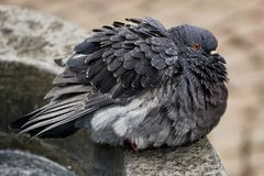 Pigeon on stone ledge Royalty Free Stock Image