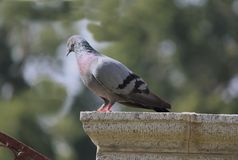 A pigeon on a stone royalty free stock image
