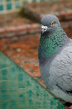 Pigeon on the stone of the pool Royalty Free Stock Photography