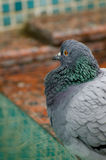 Pigeon on the stone of the pool Royalty Free Stock Photo