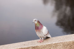 Pigeon on a stone. Portrait of pigeon on a stone near the water Royalty Free Stock Image