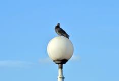 Pigeon on street light Stock Photos