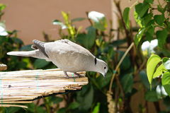 Pigeon Streptopelia decaocto Royalty Free Stock Photography