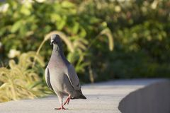 Pigeon stroll. A pigeon (Columbidae) walks along a concrete path or wall Royalty Free Stock Photography