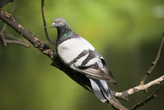 The pigeon in summer Stock Photos