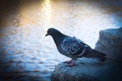 Pigeon sur des étapes Image stock