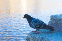 Pigeon sur des étapes Image libre de droits