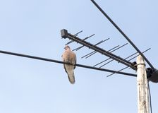 Pigeon sur l'antenne image libre de droits