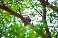 Pigeon sur l'arbre en Thaïlande Photos stock